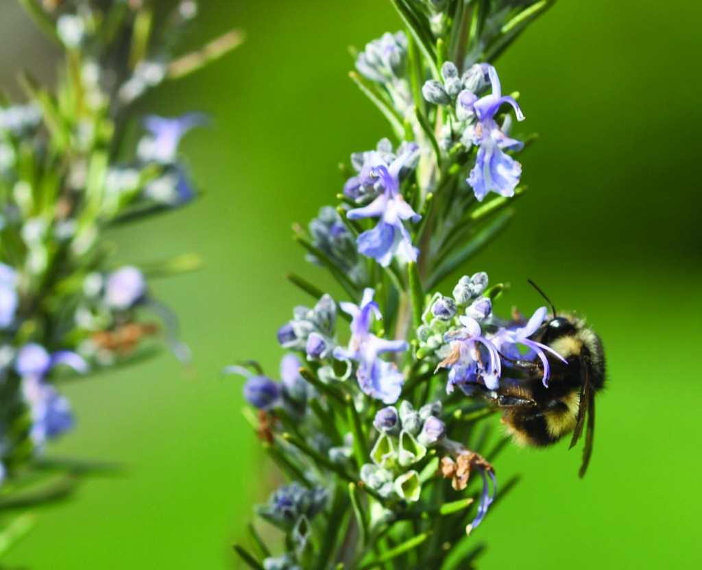 A bumblebee on Rosemary blooms on a residential property in Langley, Wash. Honeybee numbers are dropping so steeply that some species are believed extinct. (AP Photo/Dean Fosdick)