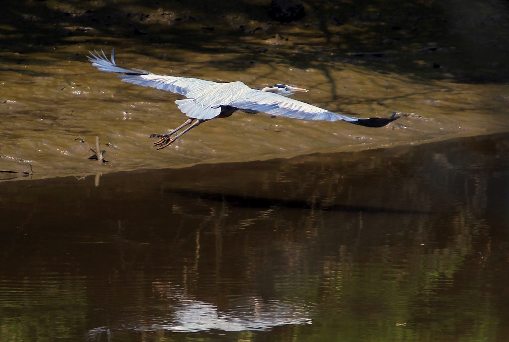 Casting a Wide Shadow Over Spring: A great blue heron on Thursday flies above Woodbury Creek, N.J. (AP Photo/The Philadelphia Inquirer, Charles Fox)