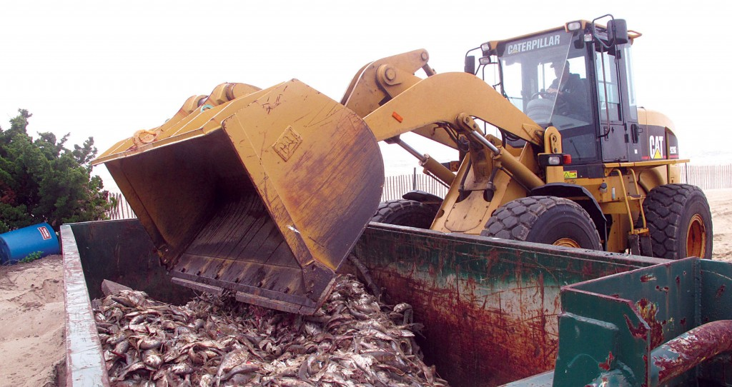 A front-end loader on Friday dumps dead fish in a container on the Belmar, N.J., beach. (AP Photo/Wayne Parry)