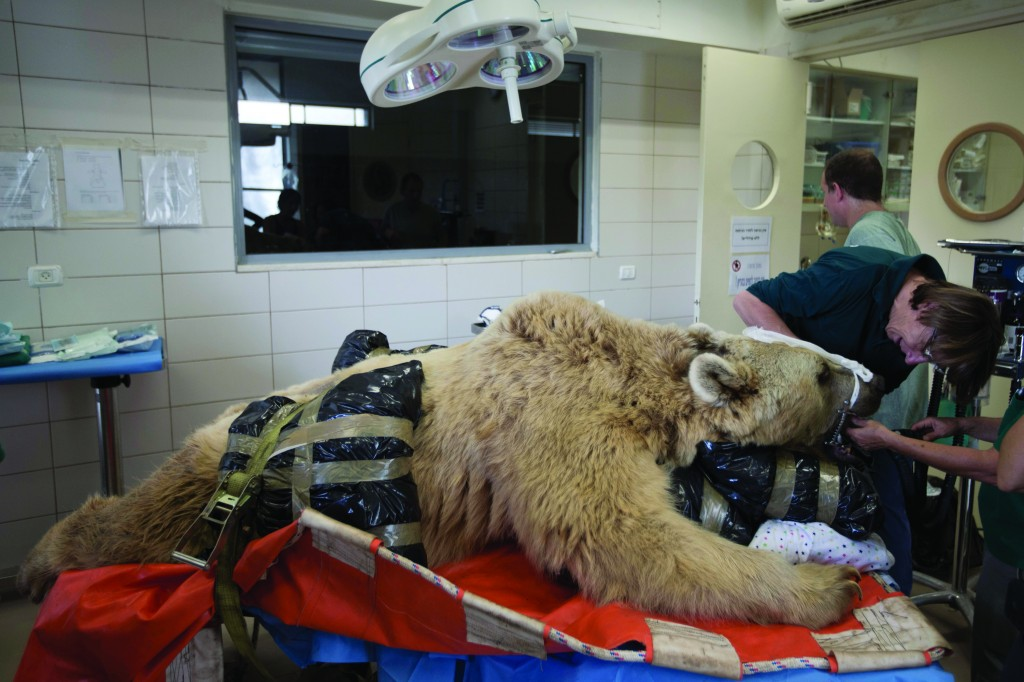 Mango, a 19-year-old male Syrian brown bear, rests on a bed as zoo veterinarians and staff prepare him for surgery in the Ramat Gan Zoological Center's animal hospital near Tel Aviv, Wednesday.  (AP Photo/Ariel Schalit)