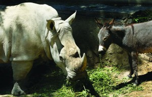 Rhinoceros Manuela and a donkey in the same enclosure at the Tbilisi Zoo, Georgia. The zoo keepers tried to help Manuela the rhino who was feeling depressed by putting the donkey in the same enclosure. The strategy worked and the animals have been living peacefully together.  (AP Photo/ Shakh Aivazov)