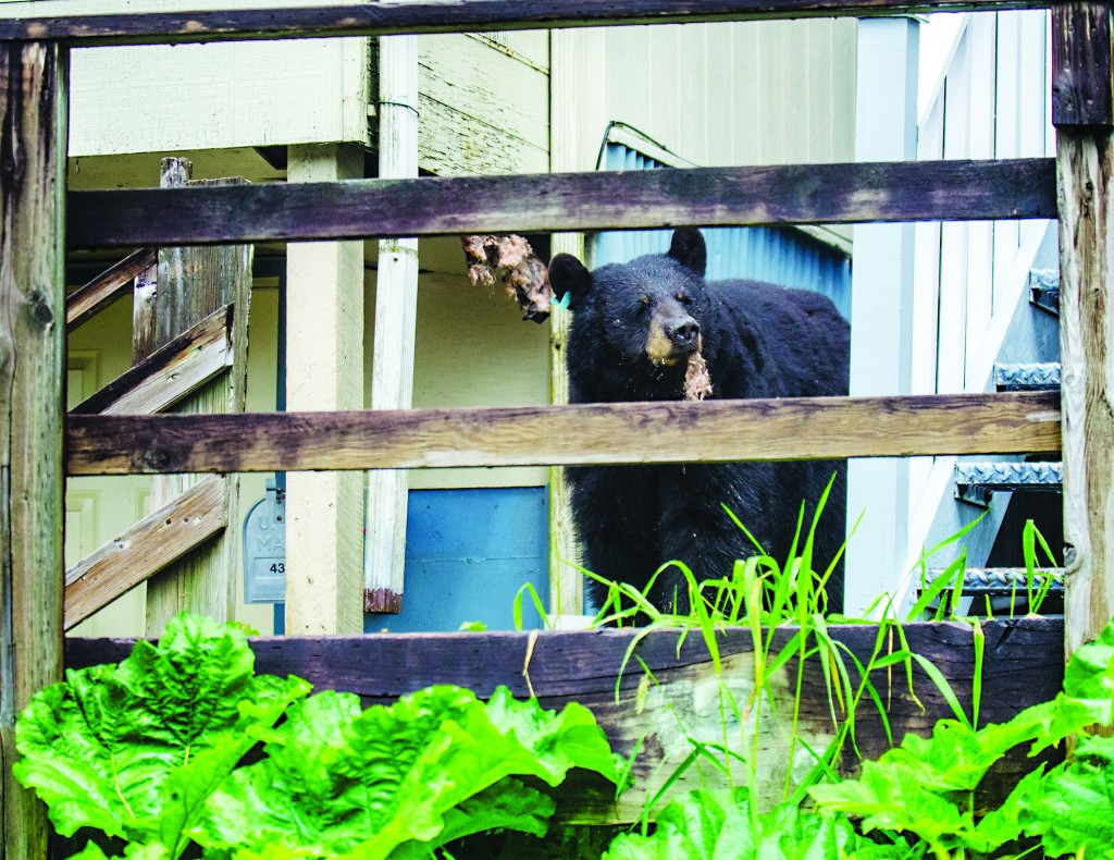 A male bear standing by the house that he ripped into the floorboards of for his beehive meal in Juneau, Alaska. (AP Photo/The Juneau Empire, Marlena Sloss)