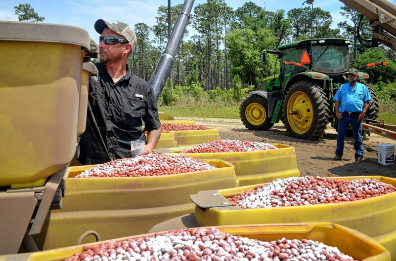Roy Davis (left) prepares seed as Greg Calhoun looks on during peanut planting in April outside Bainbridge, Ga. Peanut farmers in the South are scrambling to figure out how to best take advantage of the recently passed farm bill, which, depending on where they live, may have a major impact on their livelihoods.  (Chris Adams/MCT)