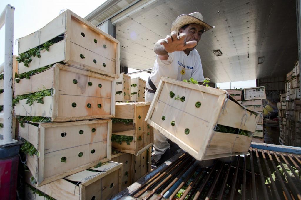 A worker loads vegetables onto a food-washing machine, at Marolda Farm in Vineland, N.J, on Tuesday. (AP Photo/Matt Rourke)