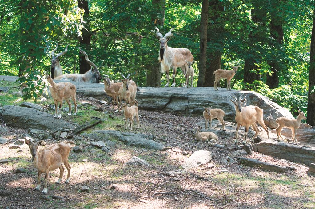 Conservation Society, Julie Larsen Maher A herd of endangered Turkmenian Markhor goats at the Bronx Zoo. (AP Photo/Wildlife )