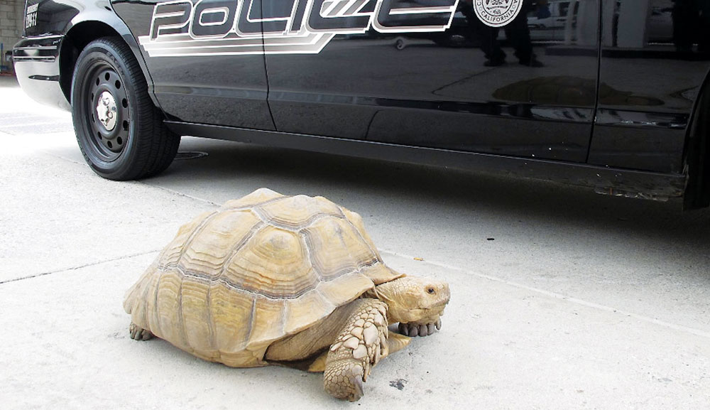 A giant 150-pound tortoise who was found wandering the streets of Alhambra, Calif. (AP Photo/Alhambra Police Department)