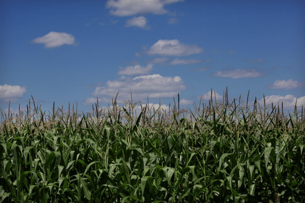 Cornfields just south of Belle Plaine, Minn. Small numbers of farmers have begun to experiment with drones to survey their crops. (Joel Koyama/Minneapolis Star Tribune/MCT)