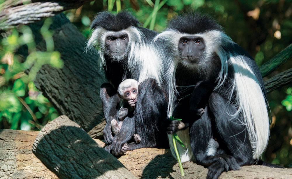 An Angolan colobus monkey holds her baby in the Congo Gorilla Forest at the Bronx Zoo. The baby, born in June, brings the number of Angolan colobus monkeys at the zoo to five. (AP Photo/Wildlife Conservation Society, Julie Larsen Maher)