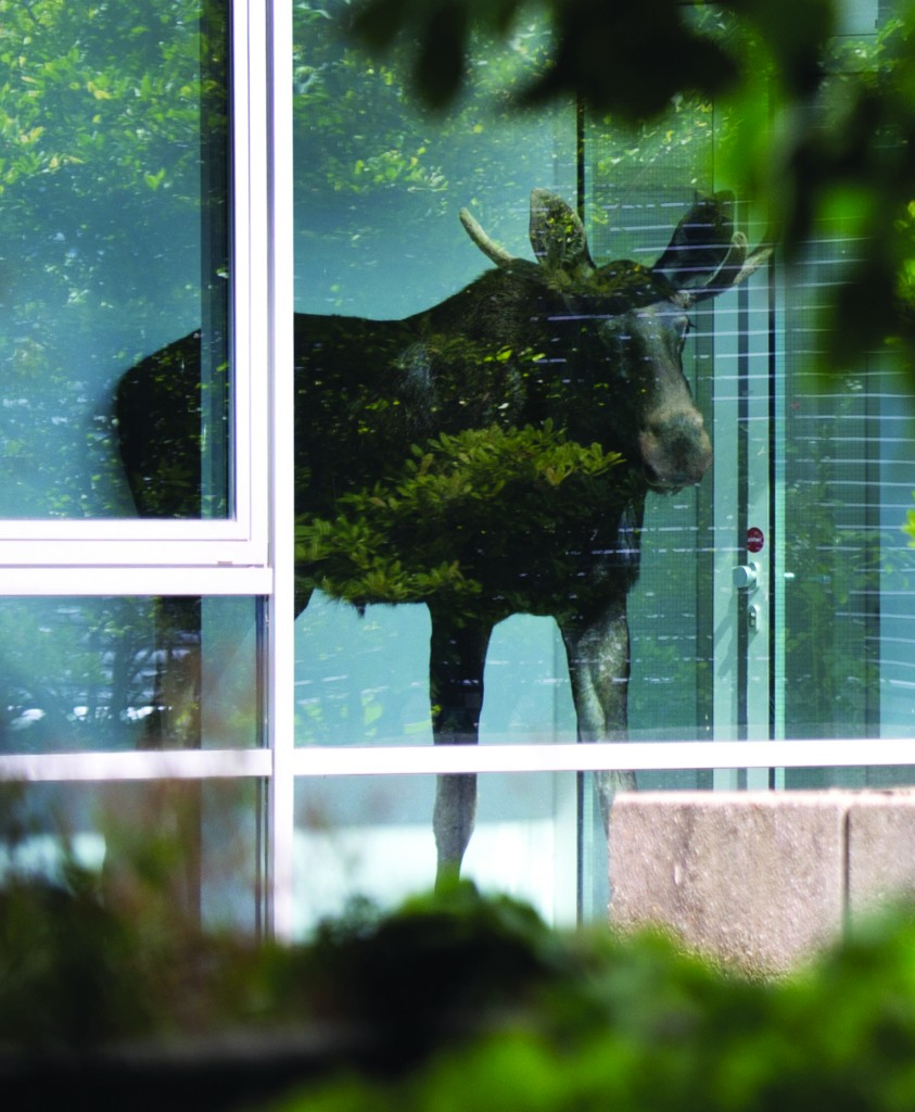 A young moose stands behind a window in an administration building of Siemens in Dresden, Germany, Monday Aug. 25, 2014.  (AP Photo/dpa,Arno Burgi)