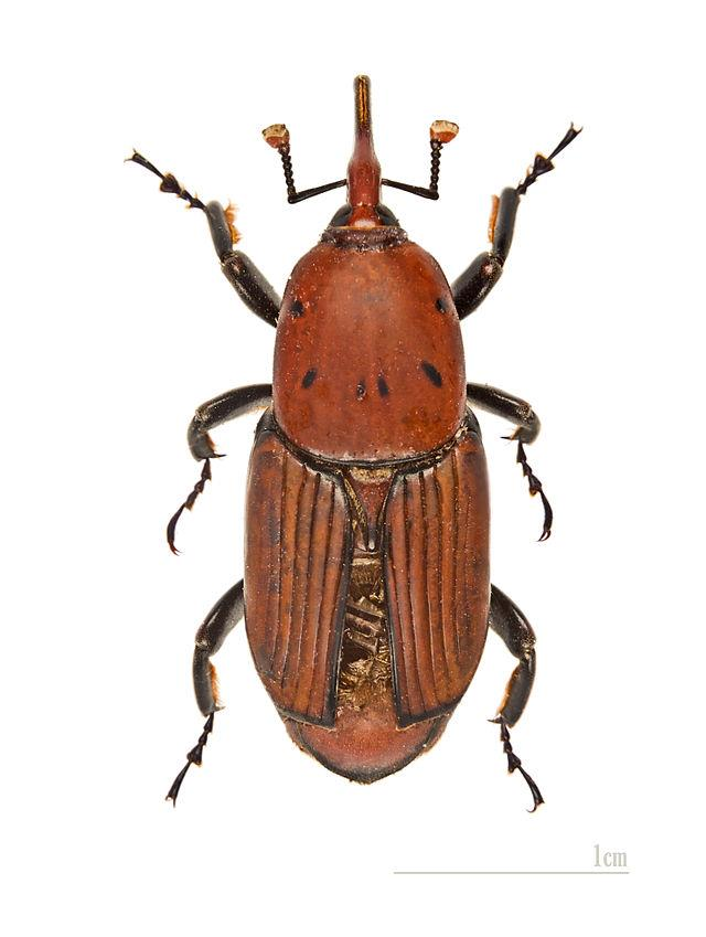 The red palm weevil, Rhynchophorus ferrugineus, is a species of snout beetle also known as the Asian palm weevil or sago palm weevil.