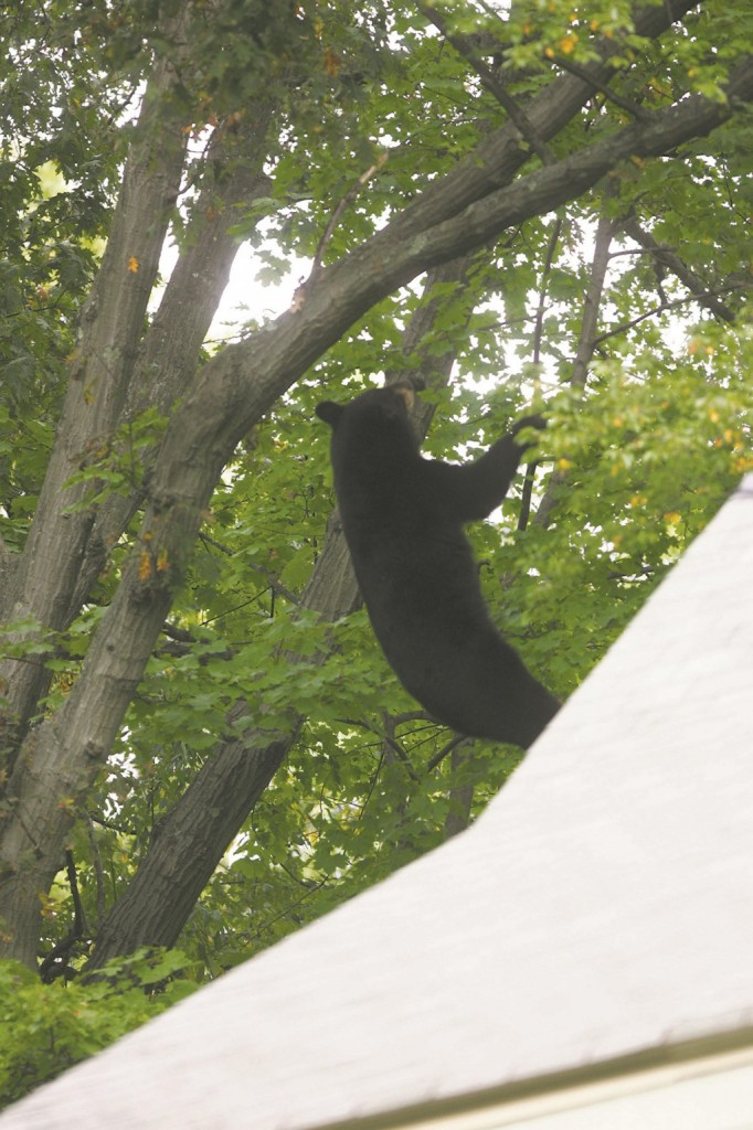 A black bear on Tuesday falls from a branch after it was shot with a tranquilizer gun in Ridgewood, NJ. (AP Photo/The Record, Kevin R. Wexler)