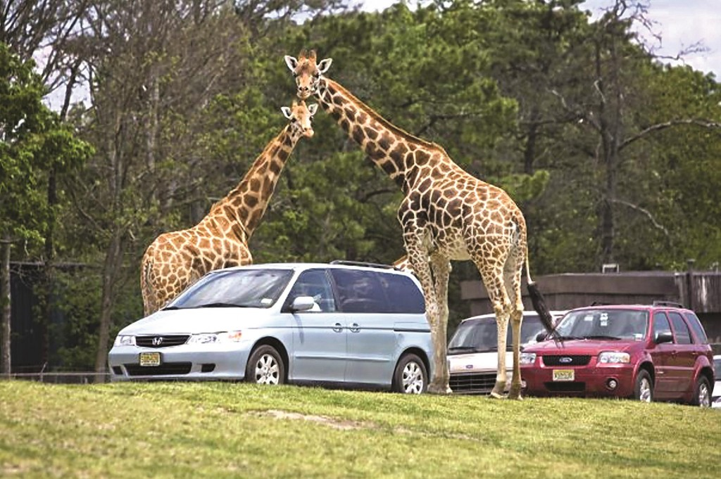 Two reticulated giraffes tower over several autos at New Jersey's Six Flags Great Adventure. (Six Flags Great Adventure)