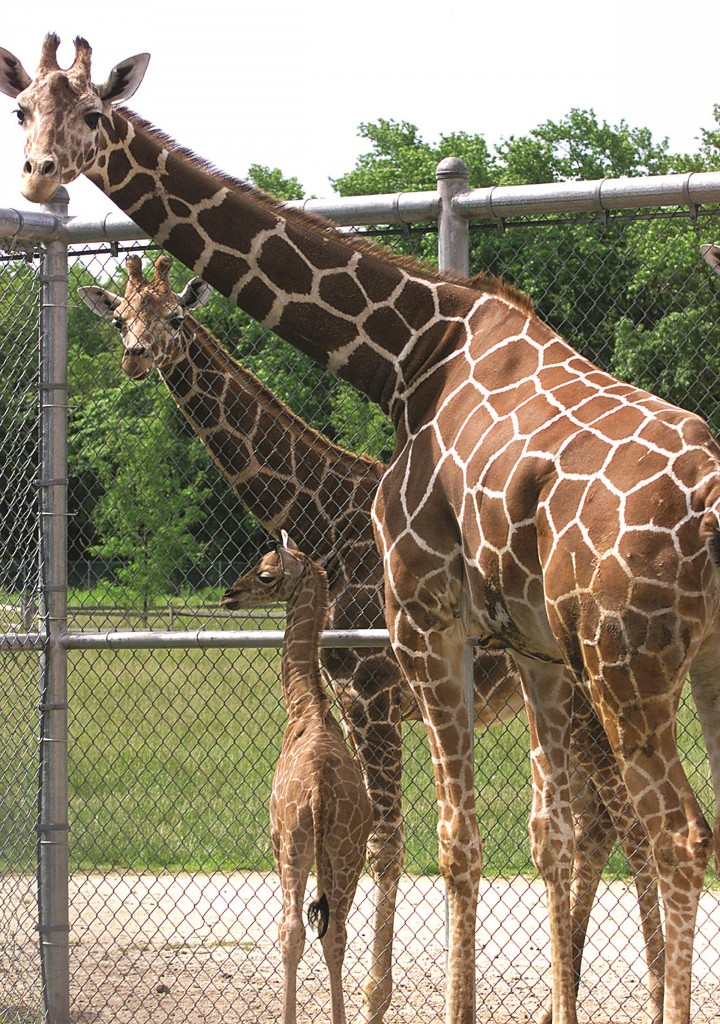 Aziza, right, the first female giraffe to call the Cape May County zoo home. (AP Photo/The Press of Atlantic City, Dale Gerhard)