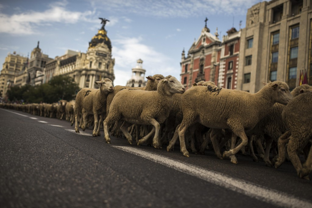 Shepherds lead their sheep through the center of Madrid, Spain, on Sunday. Shepherds have guided a flock of 2,000 sheep through Madrid streets in defense of ancient grazing, droving and migration rights increasingly threatened by urban sprawl and modern agricultural practices. Tourists and city-dwellers were surprised to see the capital's traffic cut to permit the ovine parade to bleat its way past the city's most emblematic locations. (AP Photo/Andres Kudacki)