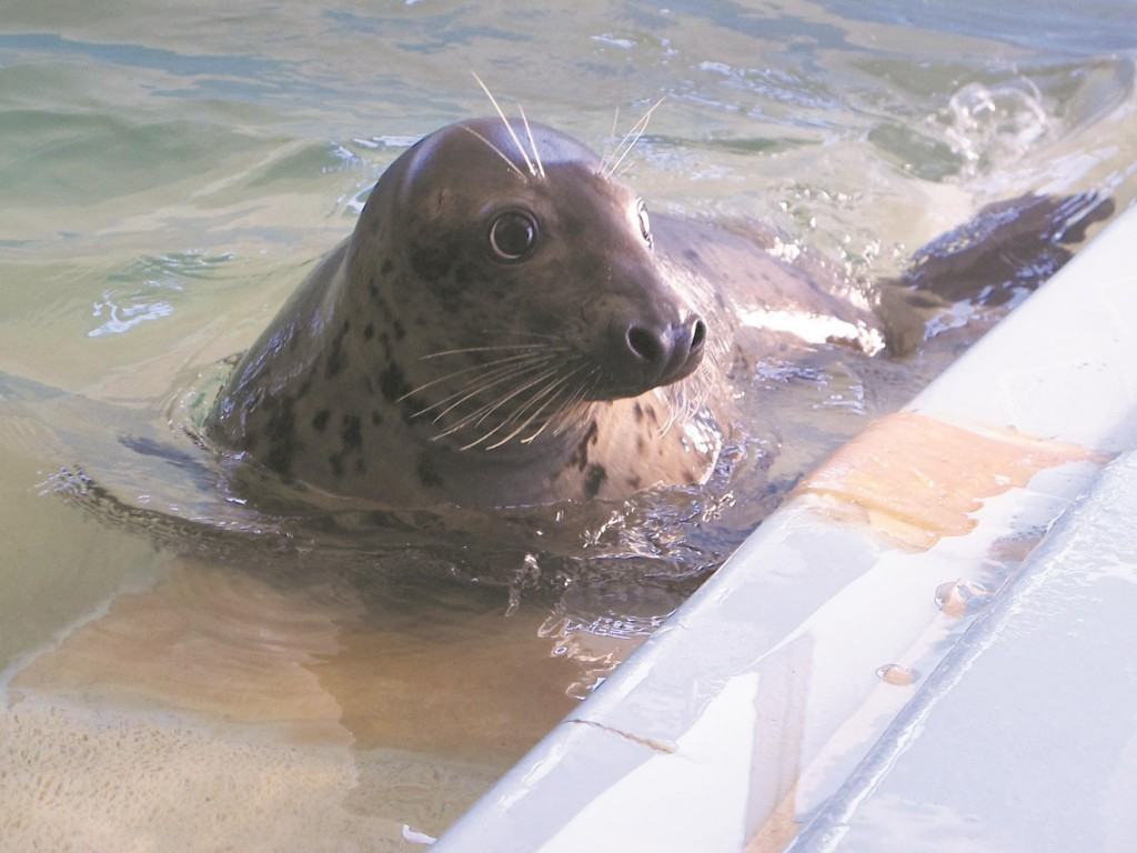 The land-loving grey seal on Friday swims in a holding tank as it awaits transfer to Detroit. (AP Photo/Wayne Parry)