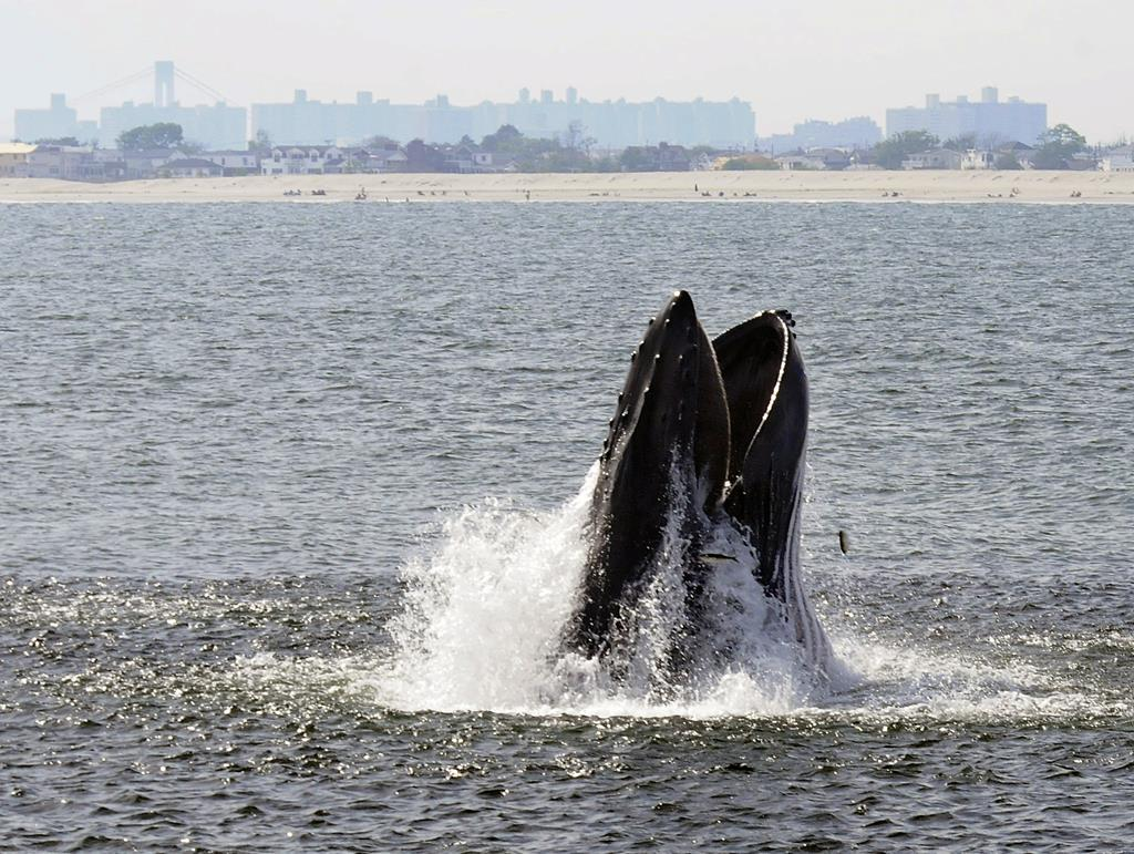 A humpback whale breaks through the surface of the Atlantic Ocean just off a Rockaway beach in June of 2014. (AP Photo/Gotham Whale/Dennis Guiney)