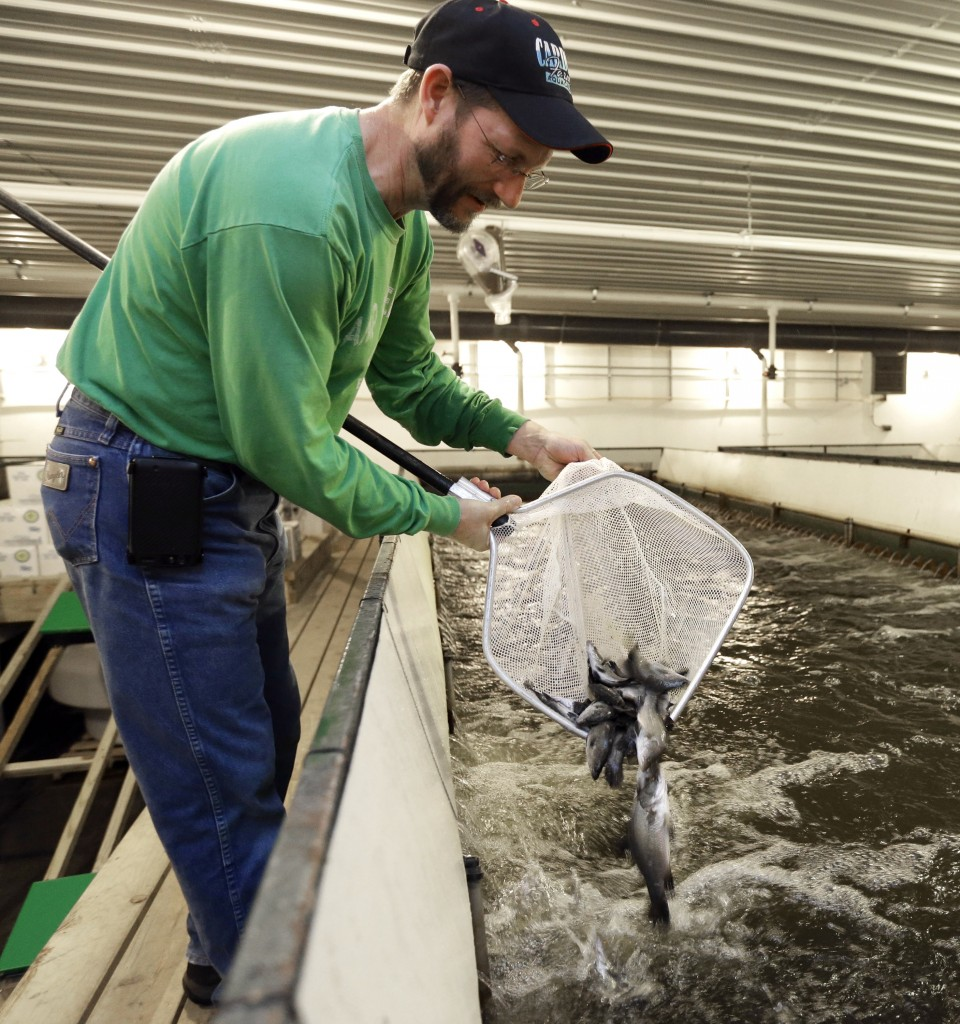 Scott Garwood of Cardinal Farms returns to the fish tank Asian sea bass called barramundi, in Dakota City, Neb., on Wednesday, Dec. 10, 2014. Farmers in the Midwest are increasingly turning to land-based, indoor fish farms, to grow everything from freshwater trout to Atlantic salmon and sea bass, effectively bringing the surf to the turf. The reasons for the advent of indoor fish farming include overfishing of the world's waters and soaring consumption of fish, especially in the U.S., outstripping supply. (AP Photo/Nati Harnik)