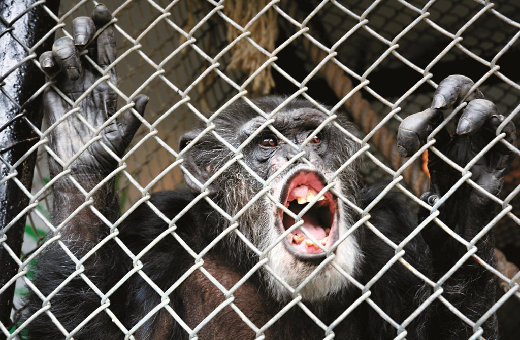 Tommy the chimp at his home in Gloversville, N.Y. (AP Photo/The Leader-Herald, Bill Trojan)