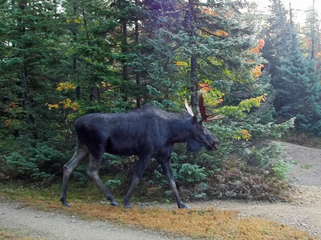 A young bull moose walks through a sandy area of the Moose River Plains wild forest region of the Adirondacks. (AP Photo/Donna Buck Wiltsie)