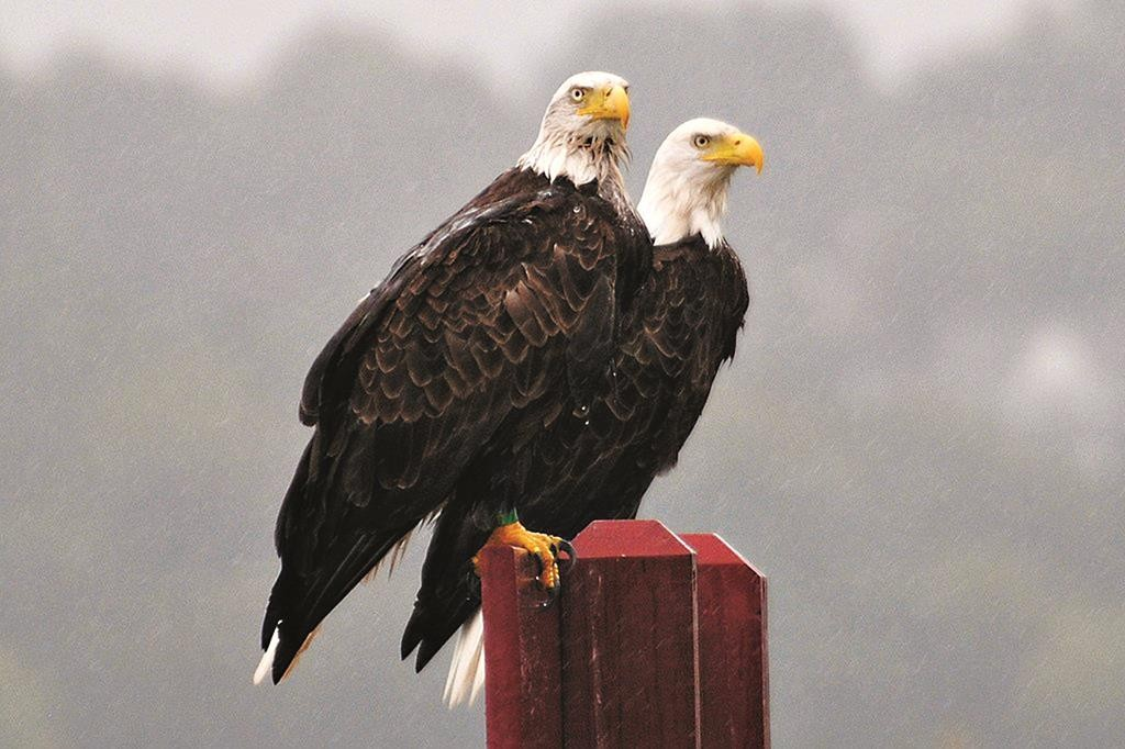 A 2011 photo of two bald eagles in New Jersey.