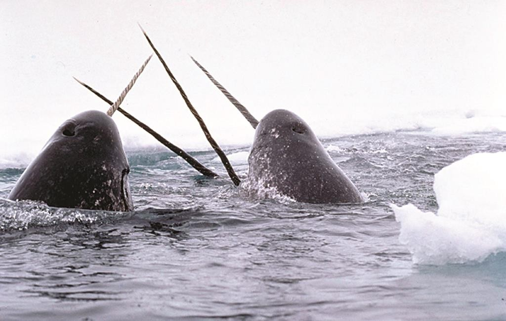 Narwhal whales playing with their long tusks. (Glenn Williams/National Institute of Standards and Technology)