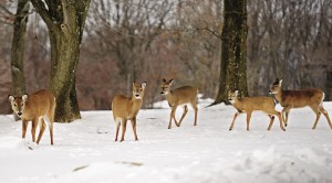 A group of deer on Sunday stroll through Garret Mountain Reservation in Woodland Park, NJ. (AP Photos)