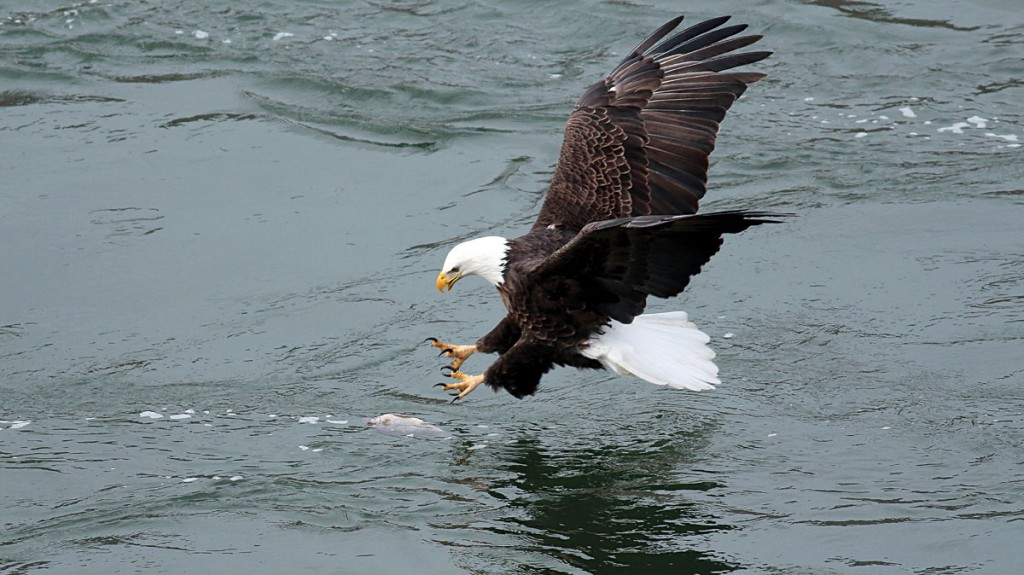 A bald eagle swoops down into a Washington state river to grab a fish.