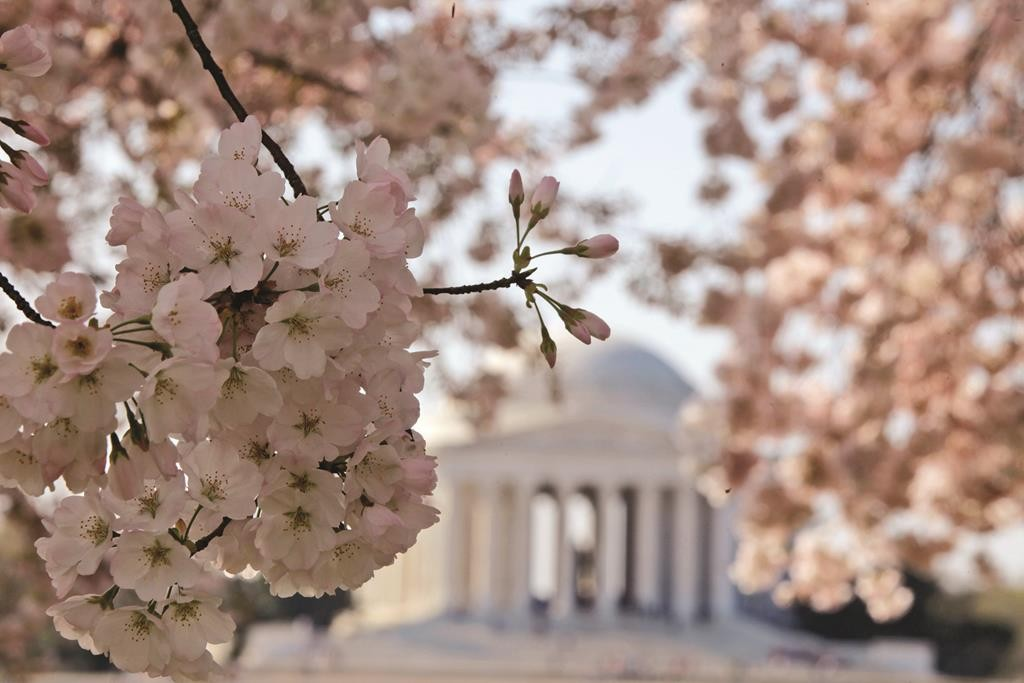 Blooming cherry blossoms frame the Jefferson Memorial. (AP Photo/Charles Dharapak, File)