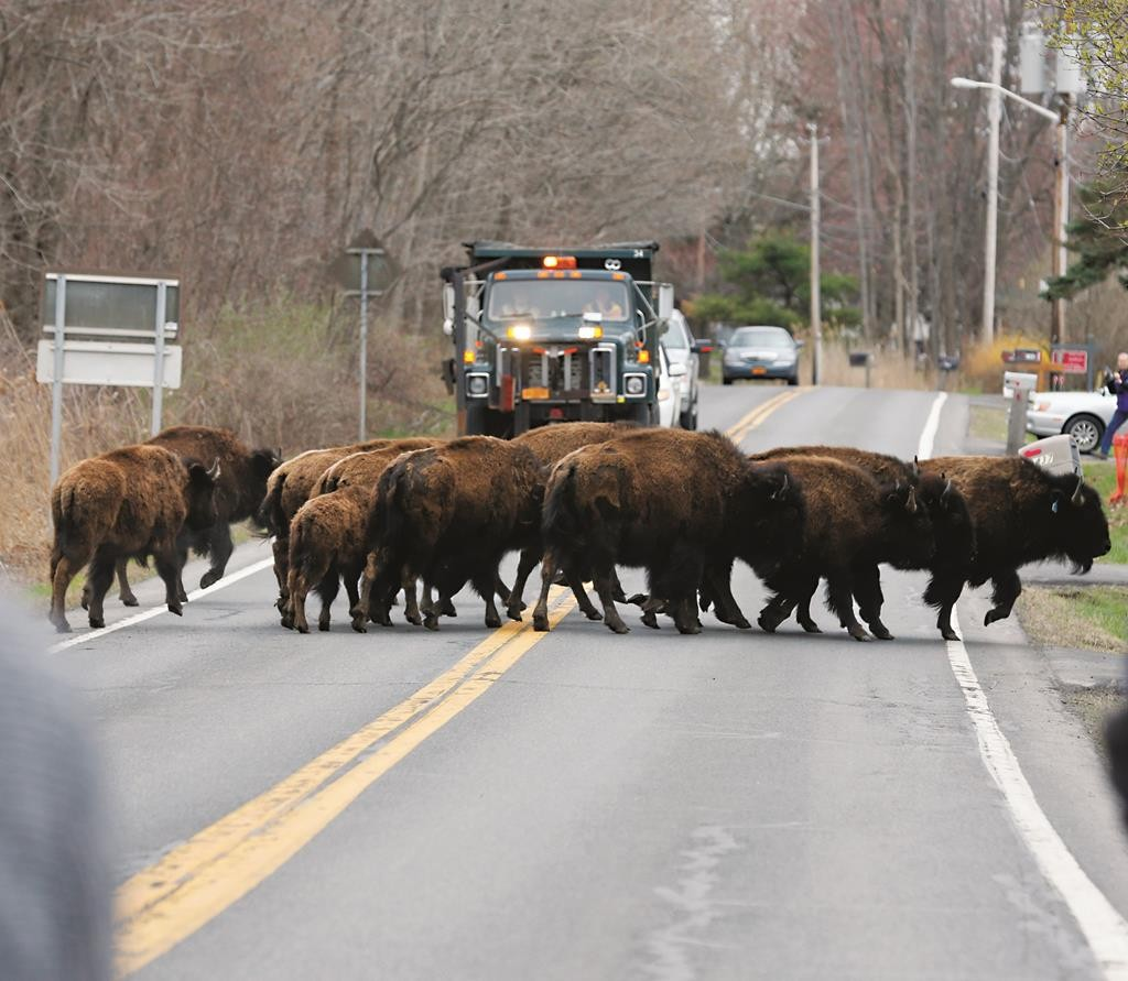 A herd of buffalo crosses a road Friday in Bethlehem, N.Y. before they were shot by Albany sheriffs. (AP Photo/Mike Groll)