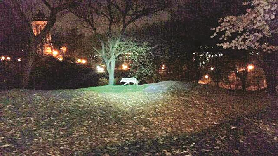 A coyote walks in an Upper West Side park last week. (NYPD)