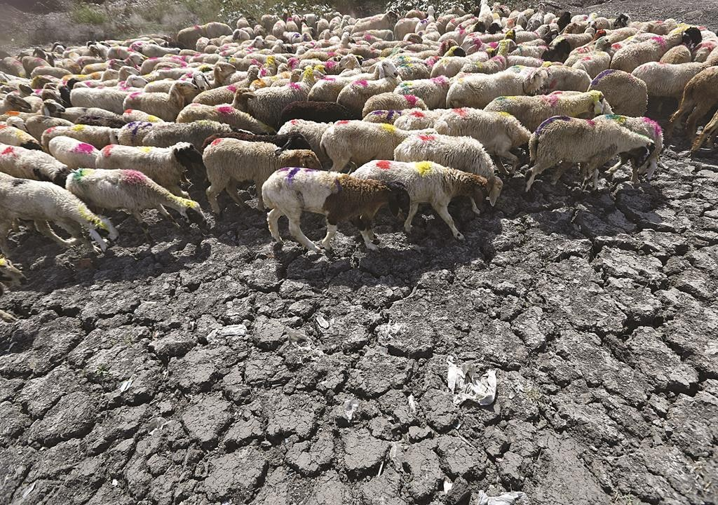 Sheep cross a parched area of a dried-up pond on a hot summer day on the outskirts of New Delhi, India. (REUTERS/Anindito Mukherjee)