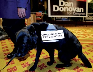 Bronksey, a service dog in Staten Island DA Daniel Donovan's office, gets up to leave after his boss won the congressional election Tuesday night in Staten Island. (AP Photo/Julie Jacobson)
