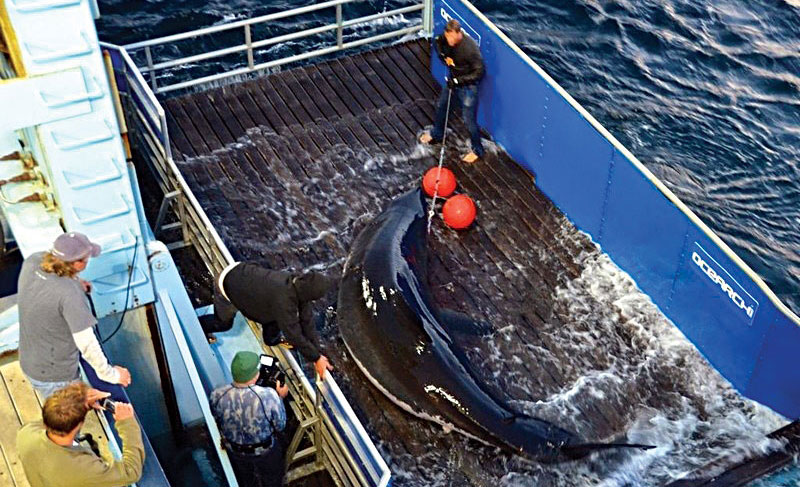 Scientists lift Mary Lee so she could be tagged off Cape Cod, Mass., in 2012. (AP Photo/OCEARCH, Mike Estabrook)