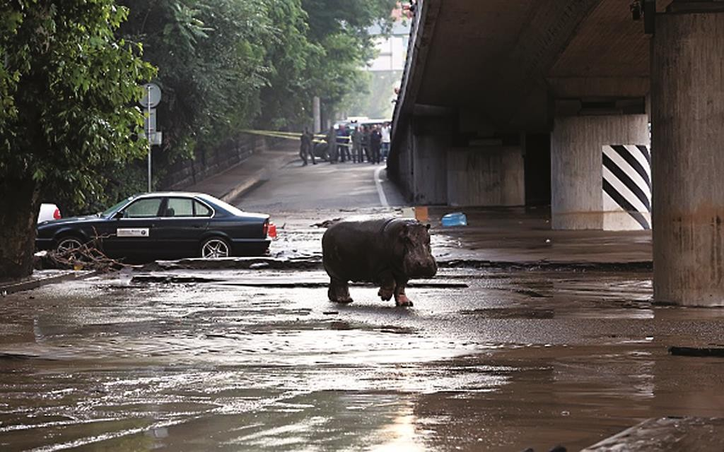A hippopotamus walks across a flooded street in Tbilisi, Georgia, where tigers, lions, jaguars, bears and wolves also escaped. (BESO GULASHVILI/AFP/Getty Images)