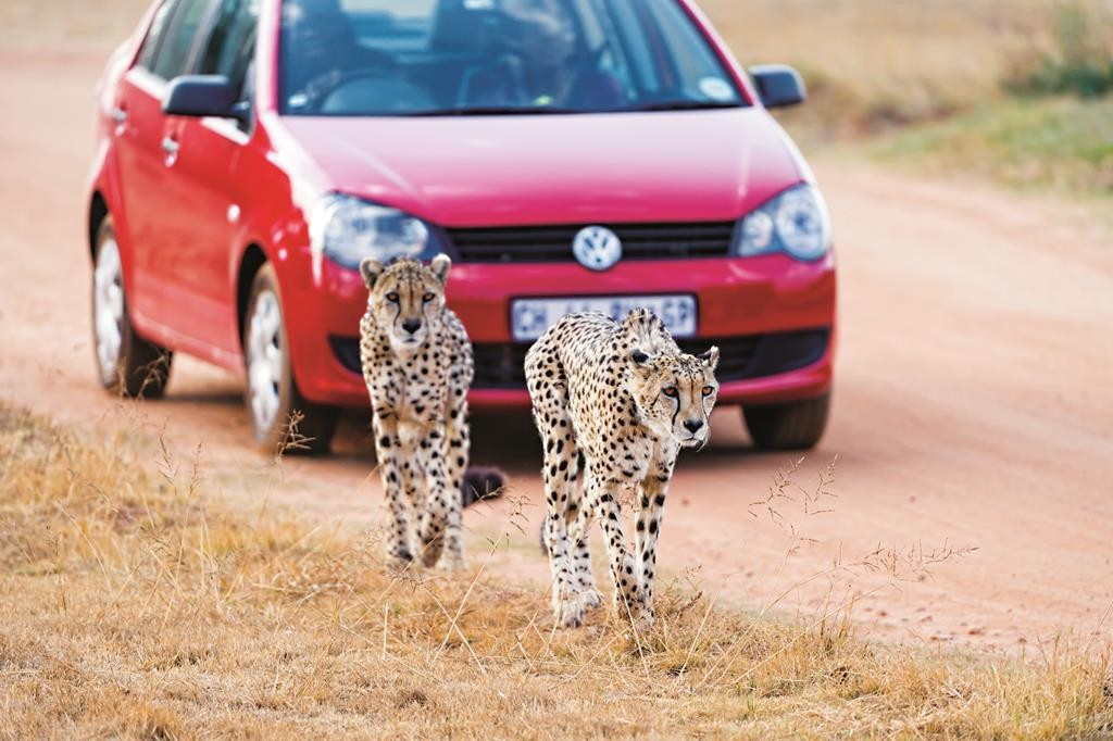 Two cheetahs walk in front of a car at the Lion Park, near Johannesburg, where Katherine Chappell of New York was killed on Monday by a lion. (Flickr)