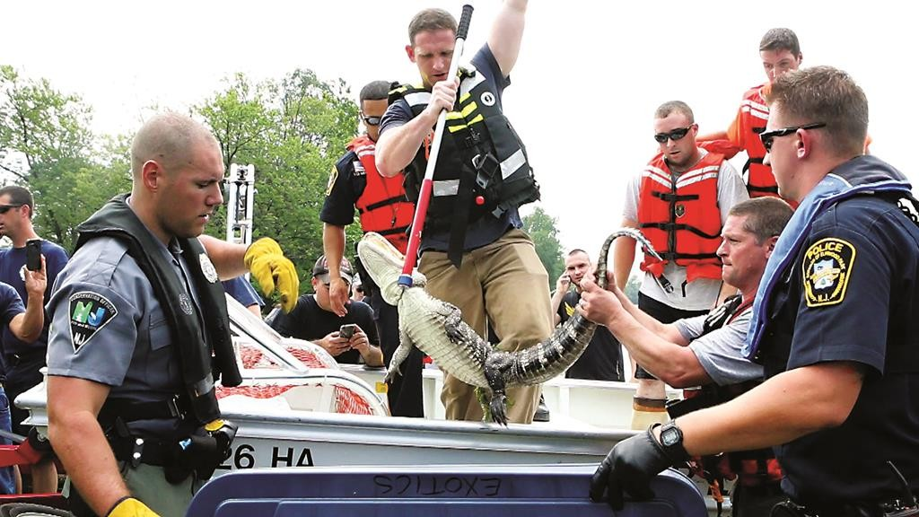 Law enforcement officials on Wednesday transfer an alligator after it was captured in the Passaic River in Elmwood Park, N.J. (Thomas E. Franklin/The Record via AP)