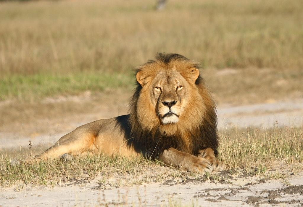 Cecil the lion rests in Hwange National Park, in Hwange, Zimbabwe.  (Andy Loveridge/Wildlife Conservation Research Unit via AP)