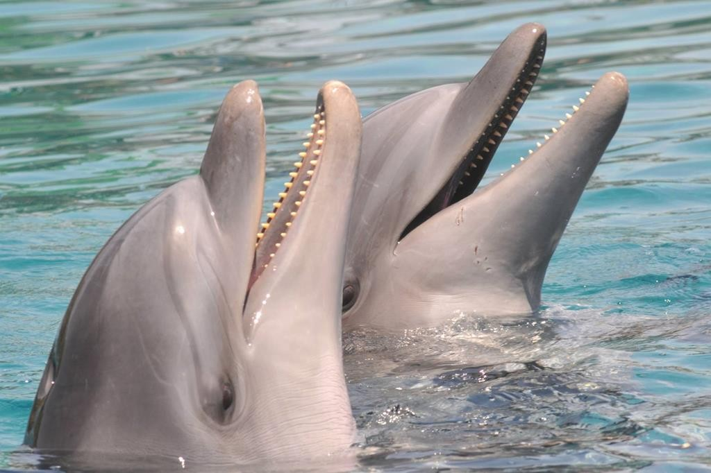 Dolphins seen in the Red Sea in Eilat.  (Jorge Novominsky/ Flash 90)