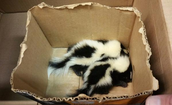 Two baby skunks on Friday after they were rescued from a Bronx subway station. (Police Transit Chief Joseph Fox/Twitter)