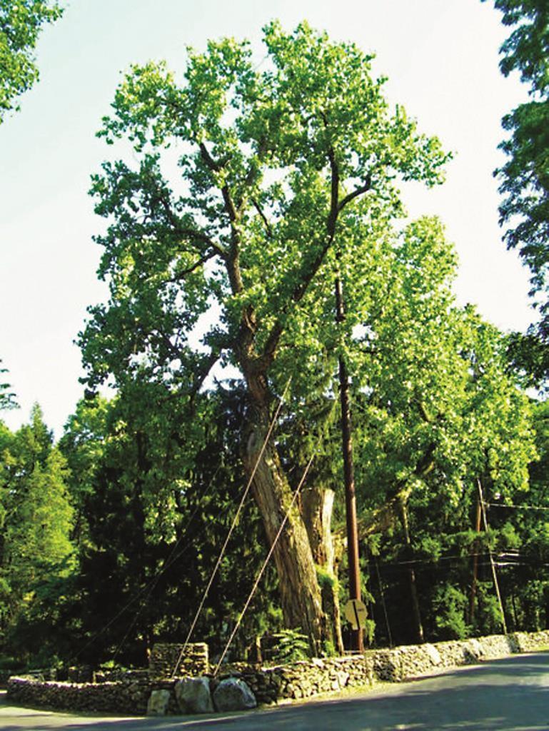 The Balmville Tree. (Wikipedia Commons)