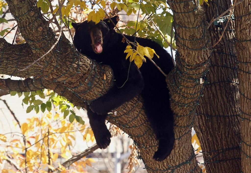 A black bear rests in a tree Monday at the Morristown Green park in Morristown, N.J. (Bob Karp/Asbury Park Press via AP)