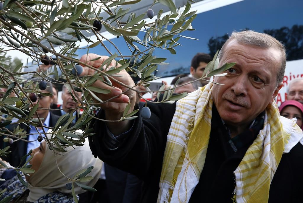 Turkey's President Recep Tayyip Erdogan collects olives in Burhaniye, Turkey, Saturday. (AP Photo/Yasin Bulbul, Presidential Press Service, Pool)