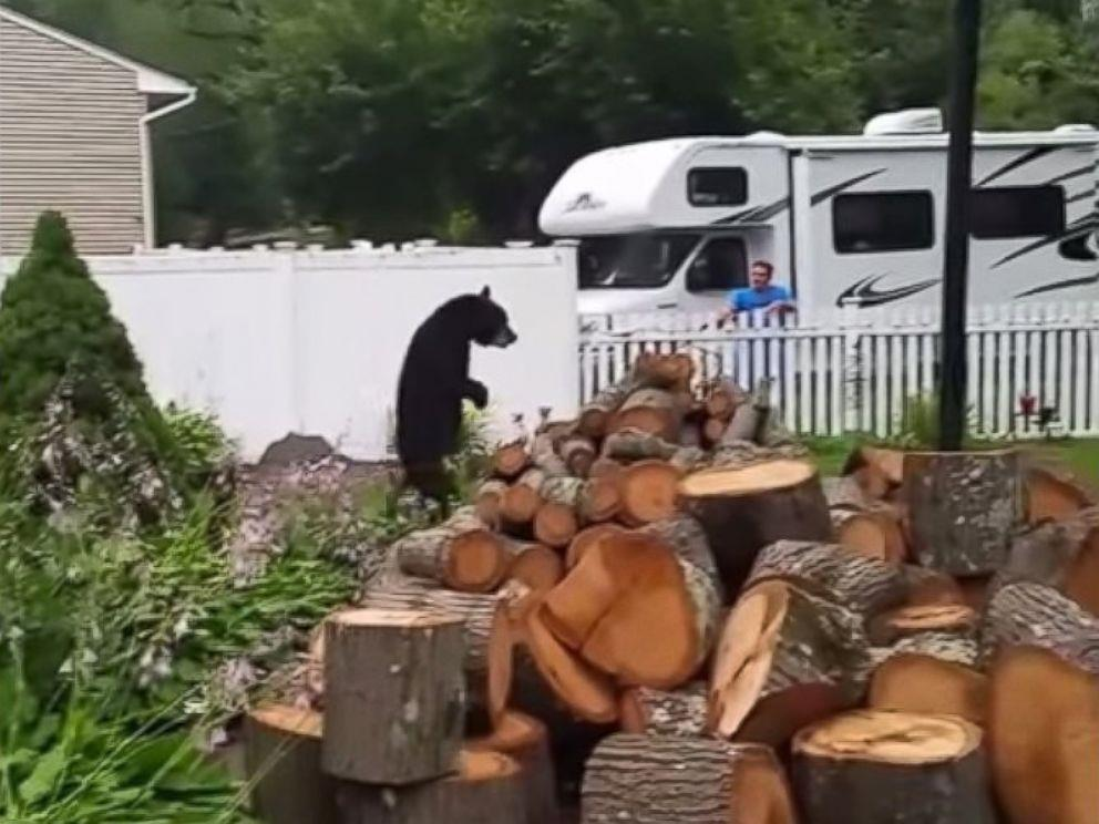 A bear, later named Pedals, is seen walking upright on his two hind legs in this still from a video taken in July in Oak Ridge, NJ. (Sabrina Pugsley)
