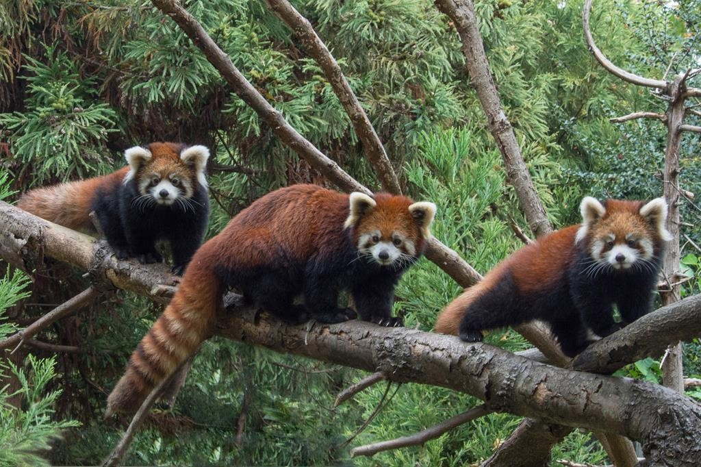 Conservation Society Two baby red pandas flank their mother at the Prospect Park Zoo in Brooklyn. (Julie Larsen Maher/Wildlife)