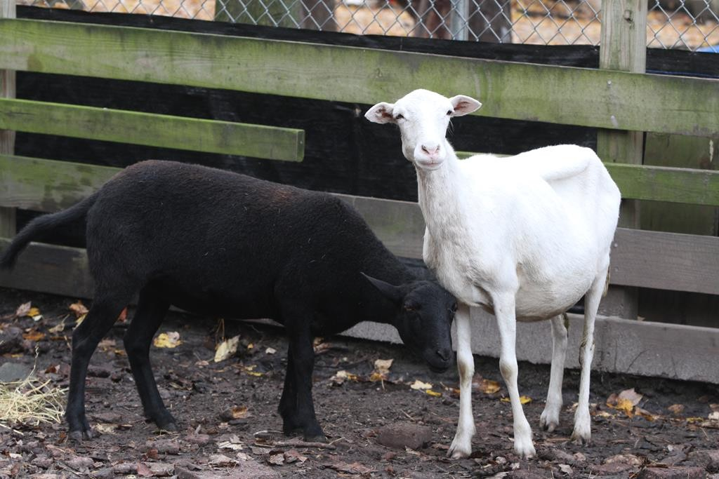 Two wayward sheep caught Thursday after roaming the Garden State Parkway for months. (Tanya Breen/The Asbury Park Press via AP)