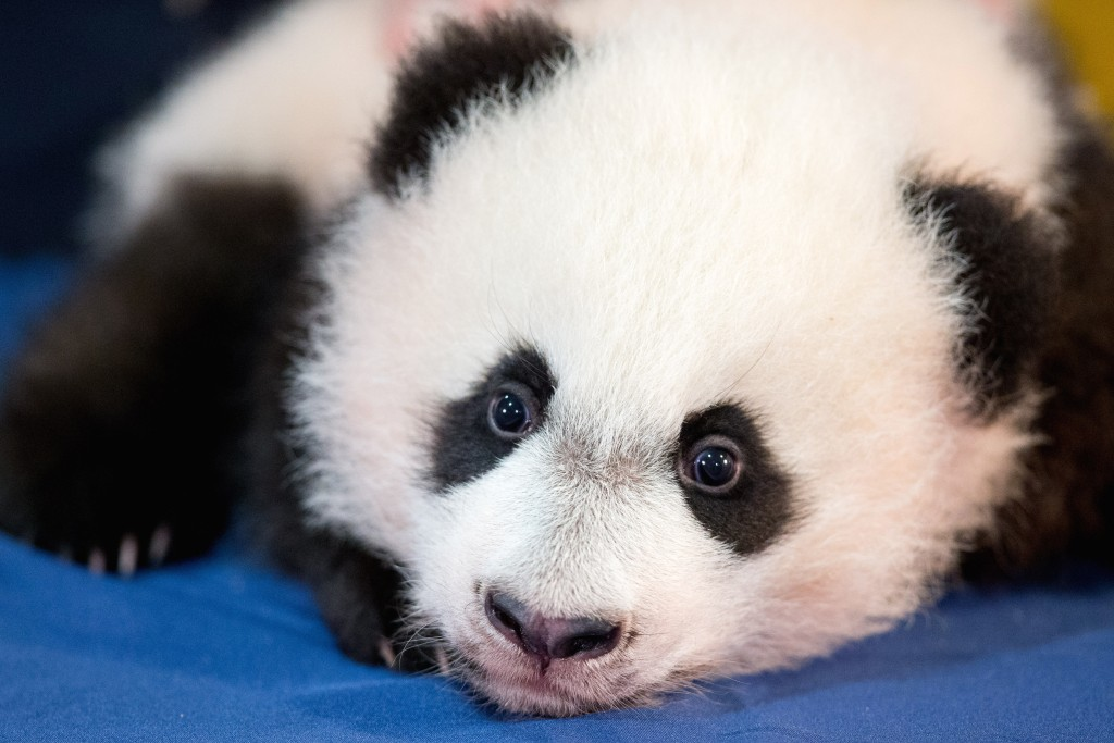 Bei Bei, the National Zoo's newest panda and offspring of Mei Xiang and Tian Tian, is presented for members of the media at the National Zoo in Washington on Monday. (AP Photo/Andrew Harnik)