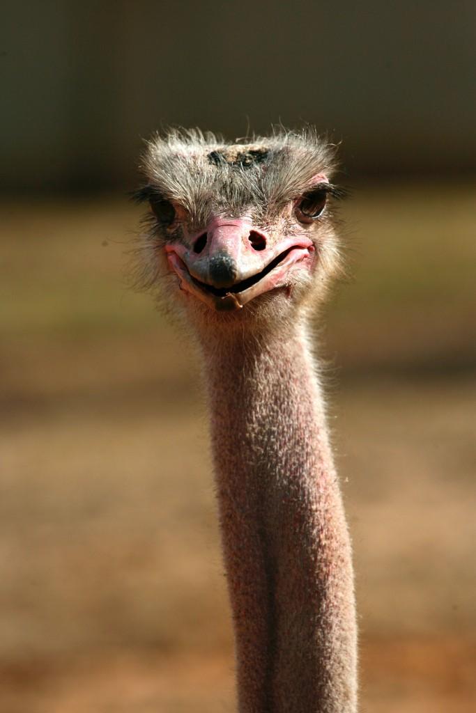 An ostrich gawking at the camera at the Ramat Gan safari in Israel. (Flash90)