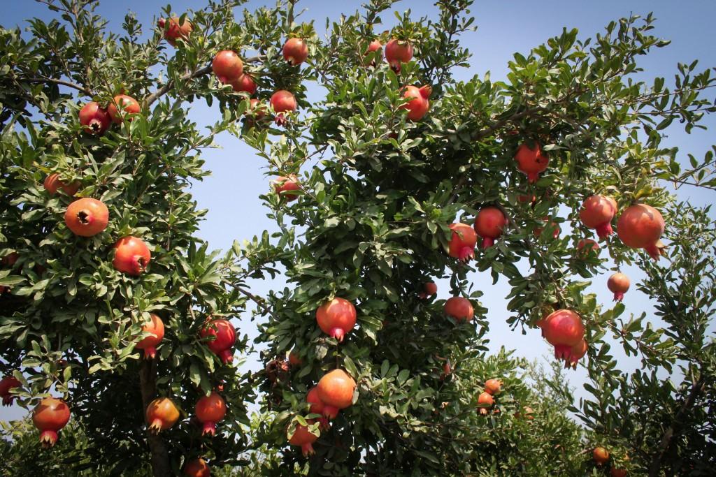 A pomegranate plantation in Kfar Harif, a moshav in south-central Israel. Photo by Gershon Elinson/FLASH90