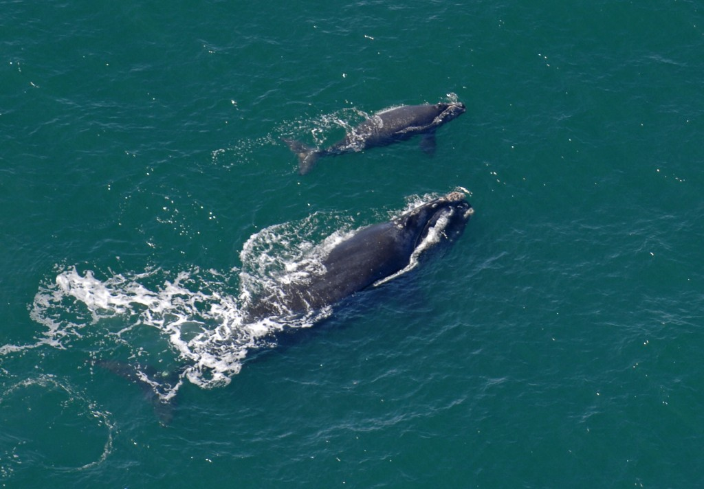 A female North Atlantic right whale swimming at the surface of the water with her calf. (John Carrington/Savannah Morning News via AP, File)