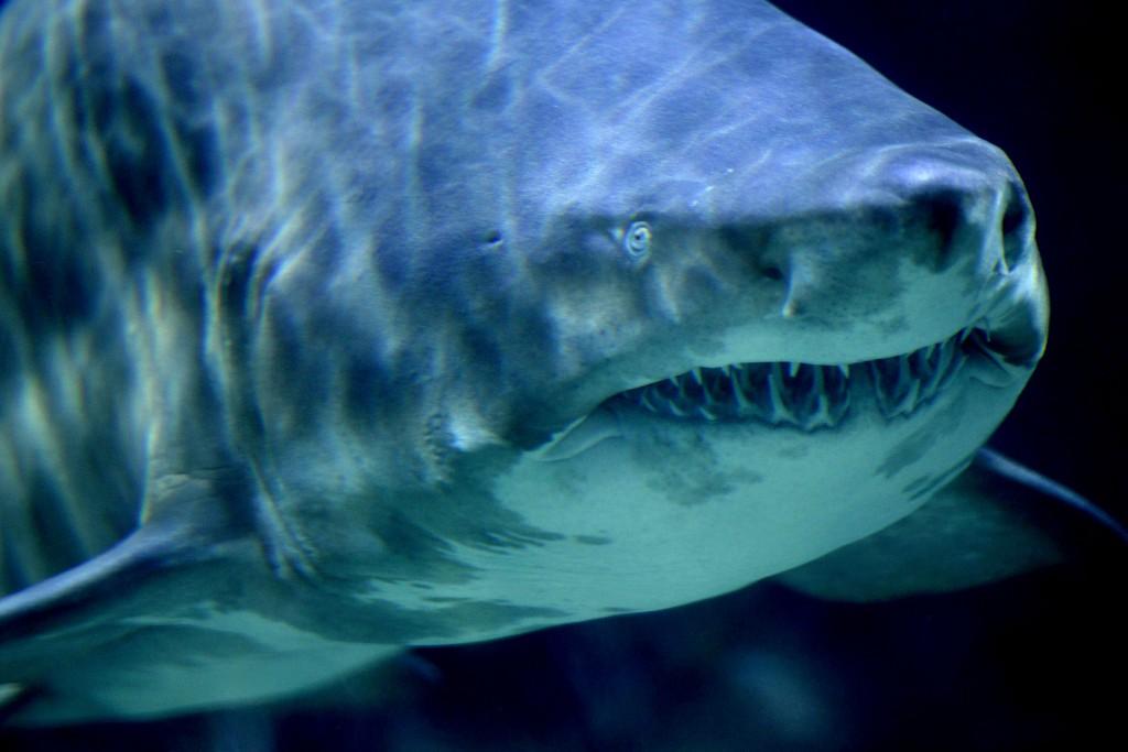 A Sand Tiger Shark  at the Zoo-Aquarium in Berlin. (AP Photo/Michael Sohn)